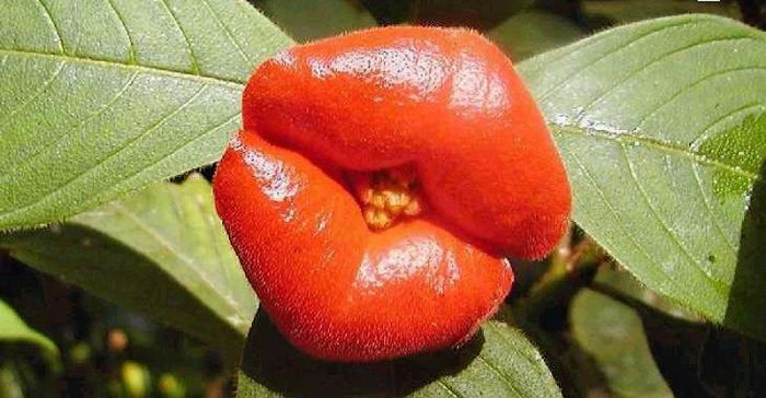 Psychotria Elata (11 pics)