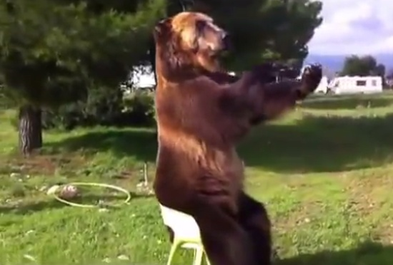 Trained Bear Shows Tricks With a Chair