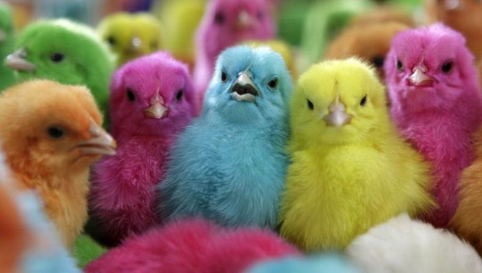 Dyed Chicks (6 pics)