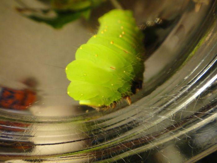 Transformation of Antheraea Polyphemus (21 pics)
