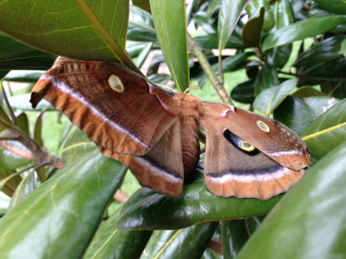 Transformation of Antheraea Polyphemus (21 pics)