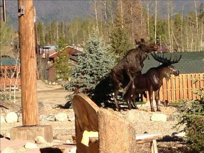 Moose in Love with a Statue (7 pics)