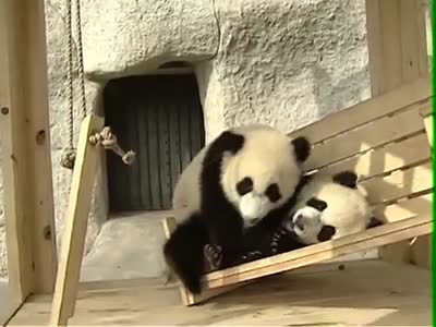 Pandas Playing in Their New Playground