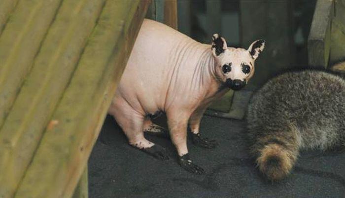 Bald Racoon (2 pics)