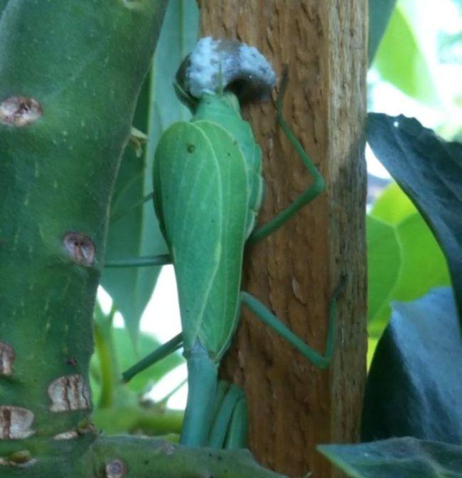 New Born Mantises (17 pics)