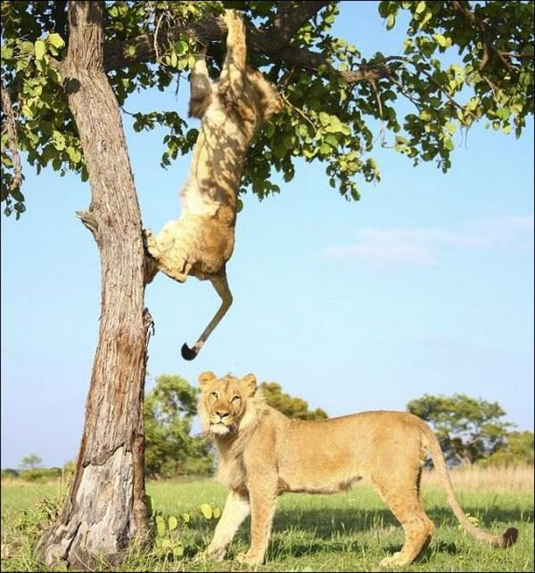 Two Lions Playing (7 pics)