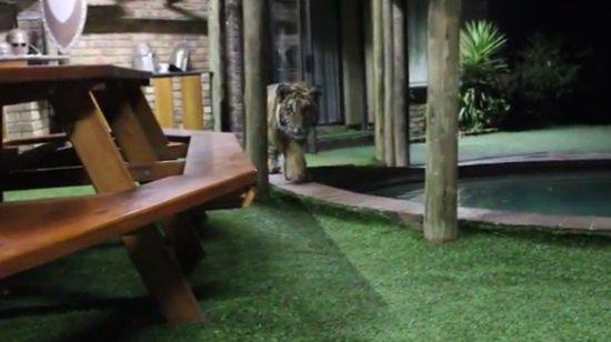 Crouching Tiger Attacks Human