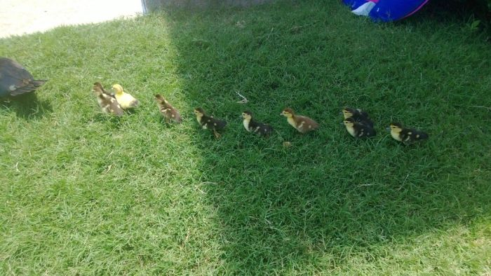 Ducklings on the March (19 pics)