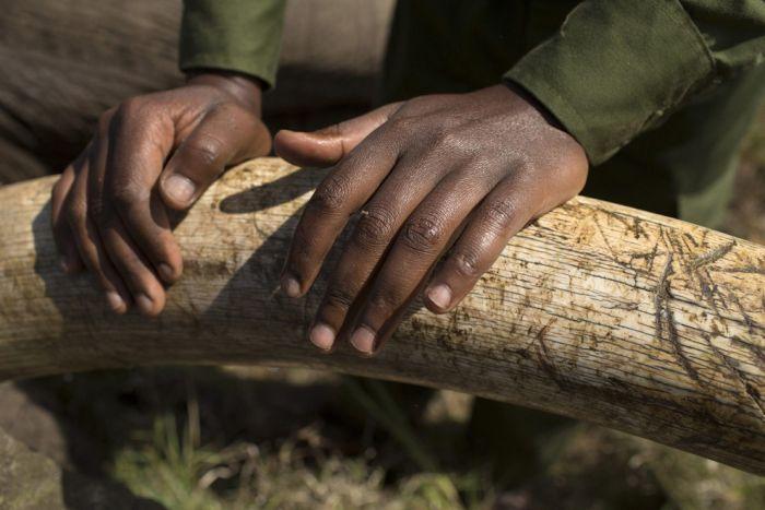 Kenya Wildlife Service Relocates Elephants (15 pics)