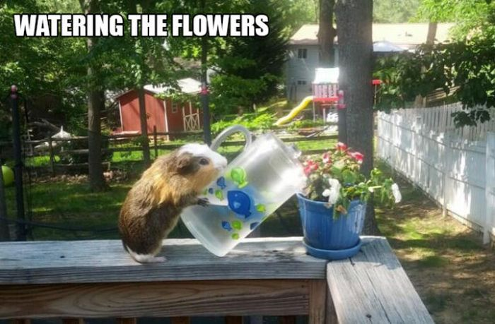 Stuff Guinea Pig Does (18 pics)