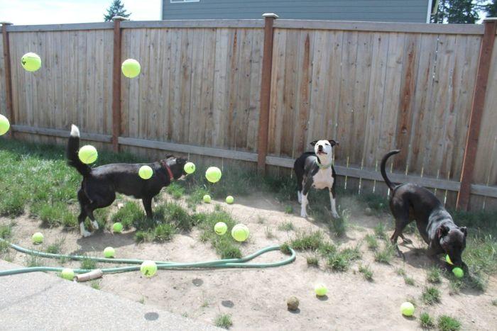 3 Dogs vs 60 Balls (10 pics)