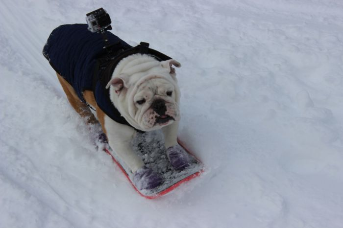 Beefy the Skateboarding Bulldog (20 pics)