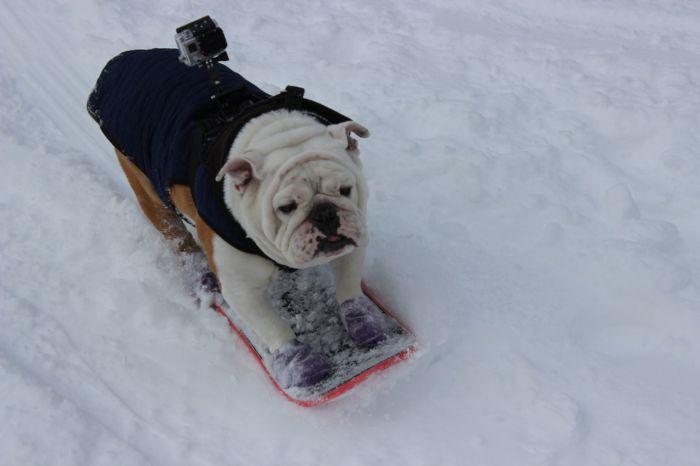 Beefy the Skateboarding Bulldog (20 pics)