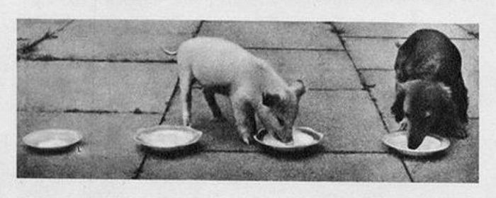 Pig and Three Dogs (4 pics)
