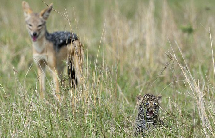 Mother Leopard Saves Her Baby (8 pics)