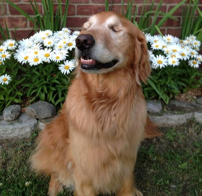 Dutchess The Blind Therapy Dog (21 pics)