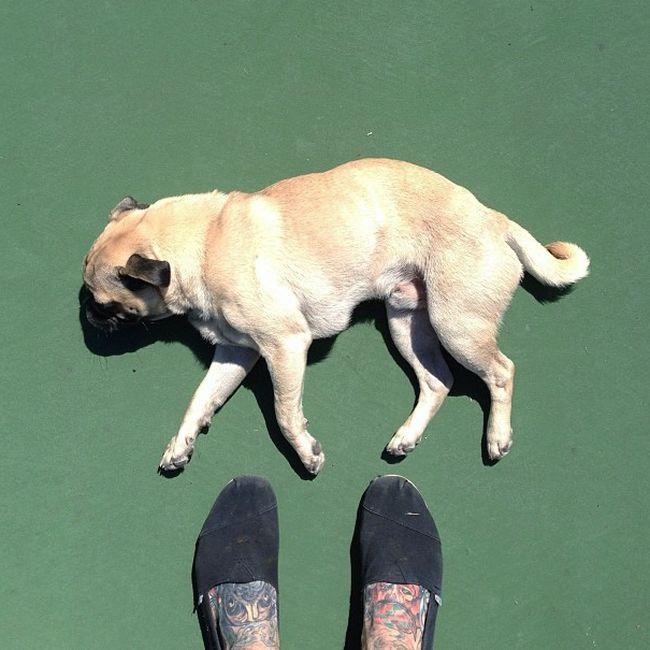 Norm the Pug (32 pics)