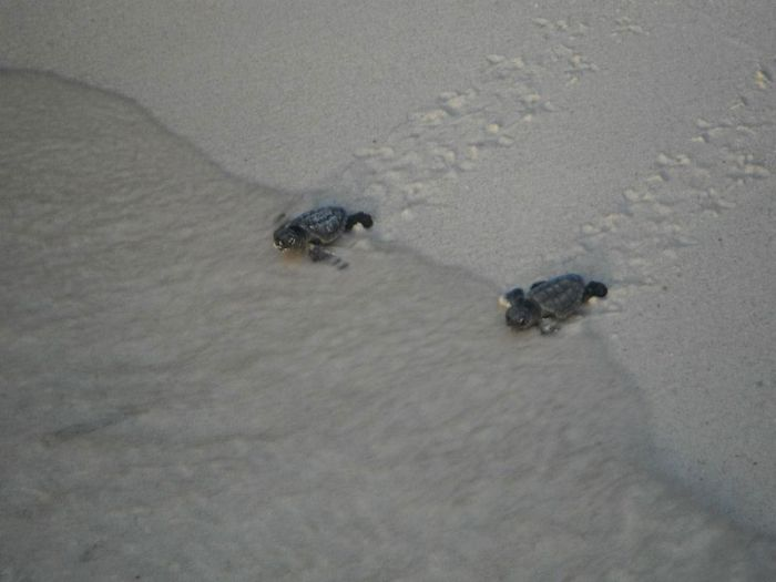 Bringing Baby Turtles to Sea (12 pics)