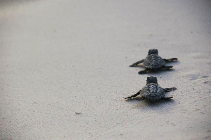 Bringing Baby Turtles to Sea (12 pics)
