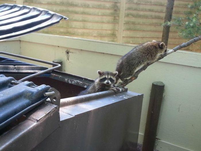 Raccoons Rescue (7 pics)