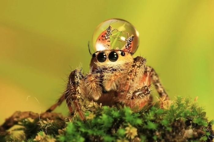 Spiders Wearing Water Droplets as Hats (5 pics)