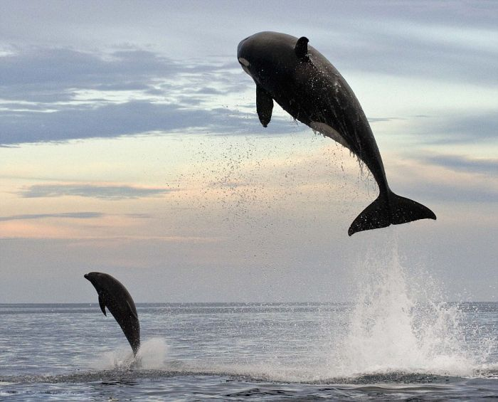 Orka Catches Dolphin (5 pics)