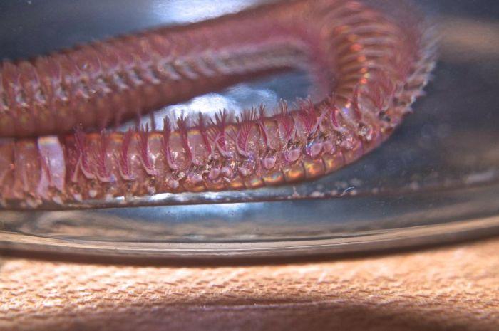 Bobbit Worm (21 pics)