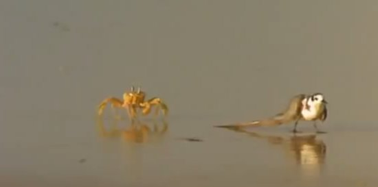 How Crabs Can Hunt For Birds