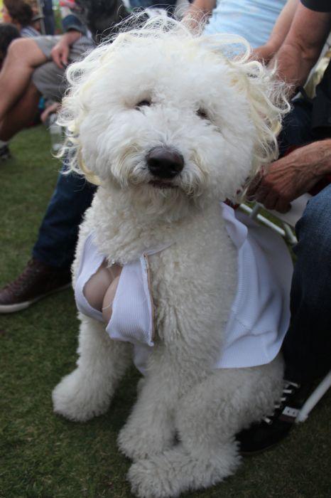 Marilyn Monroe Dog (5 pics)