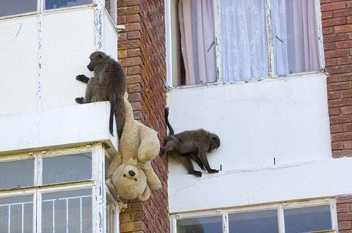 Baboons Attack (4 pics)
