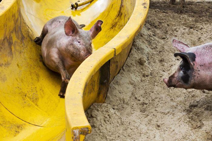 Slide for Pigs (4 pics)