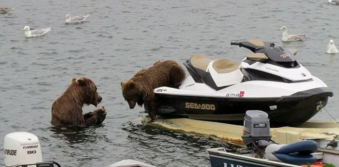 Bear Cub Likes a Water Scooter (5 pics)