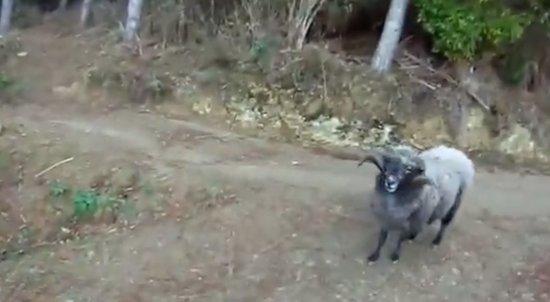 Biker vs Angry Goat