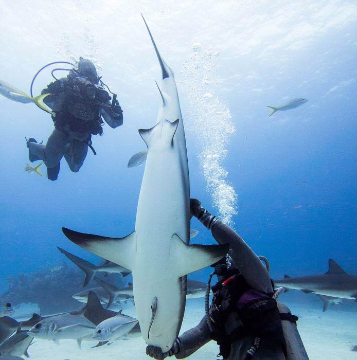 Shark Whisperer Hypnotises Shark (8 pics)