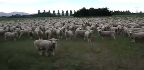 Crowd of Sheep Got Something to Say