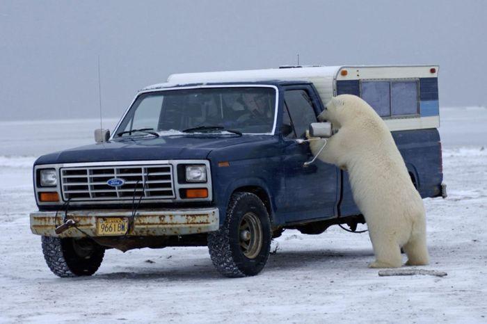 Polar Bear Inspects a Car (14 pics)