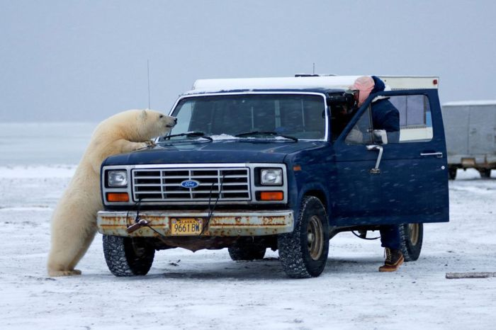 Polar Bear Inspects a Car (14 pics)