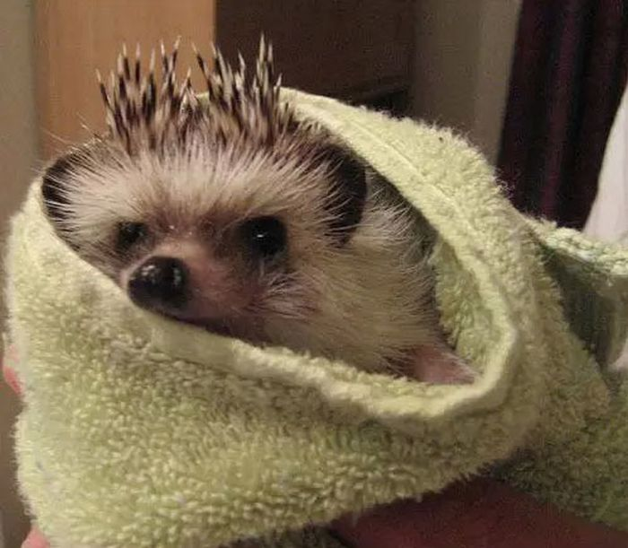 Hedgehog Takes Bath (10 pics)