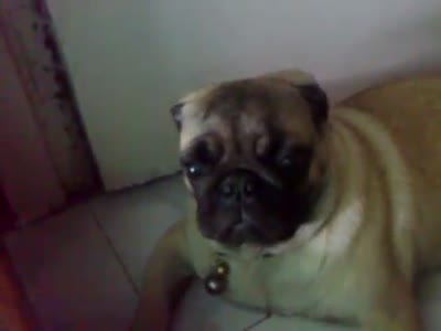 Pug Reacts to Motorcycle Engine
