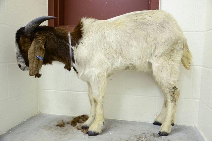 Animals Rescued by Farm Sanctuary (20 pics)