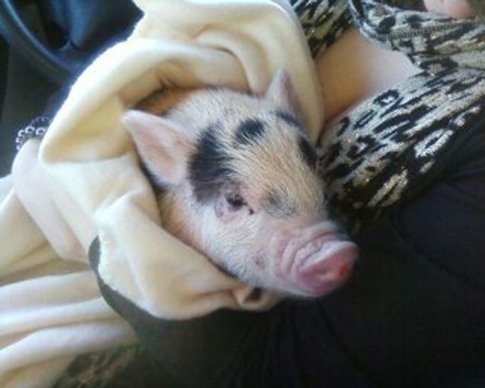 Fake Mini Pig (8 pics)