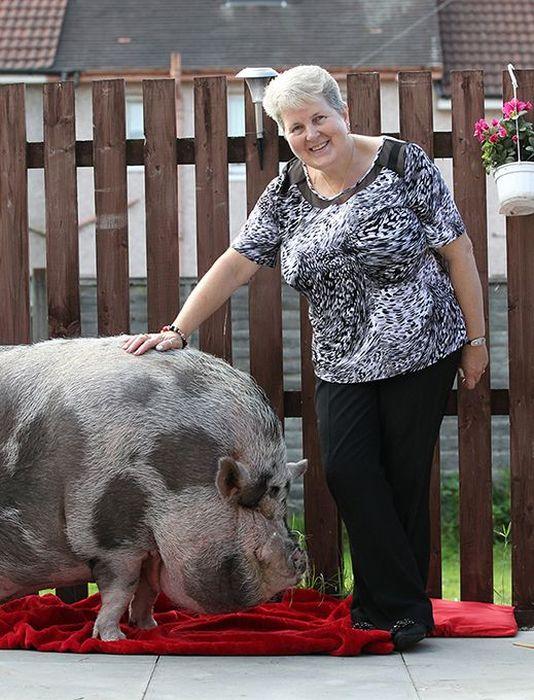 Fake Mini Pig (8 pics)