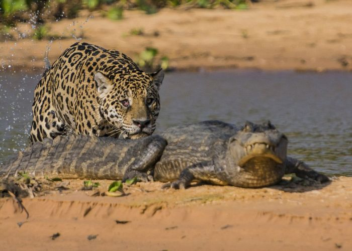 Jaguar Hunts for a Crocodile (10 pics)
