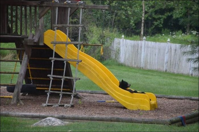 Bear Cubs Play on a Slide (5 pics)
