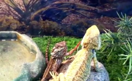 Bearded Dragon Sending High Five