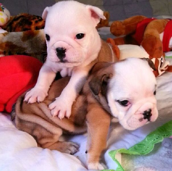 Very Cute Bulldog Puppies (40 pics)