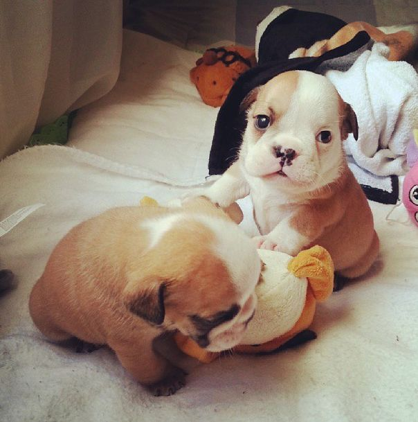 Very Cute Bulldog Puppies (40 pics)