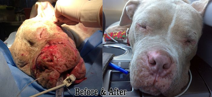 Rescued Pit Bull (13 pics)