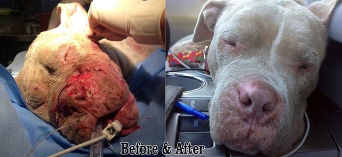 Rescued Pit Bull (13 pics)