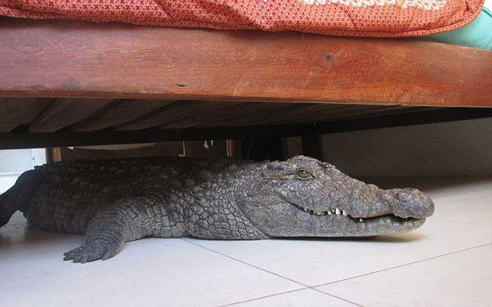Crocodile Under the Bed (9 pics)